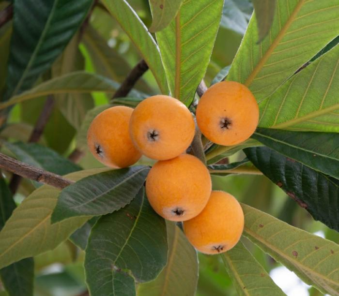 feuilles nèfle du japon