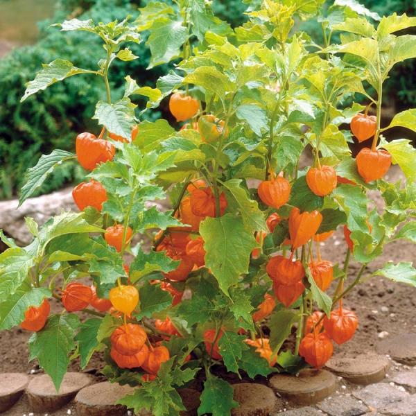 fruit physalis comme décoration