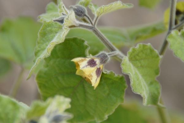 fruit physalis feuilles duveteuses