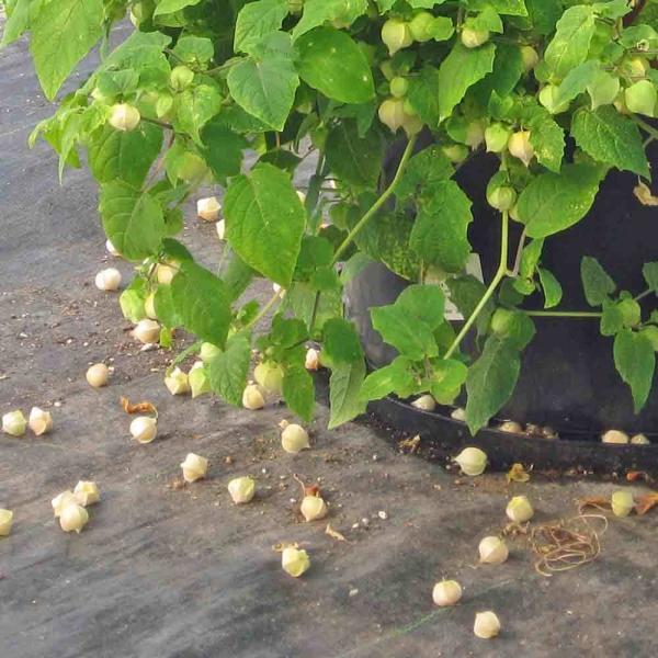 fruit physalis tomber par terre