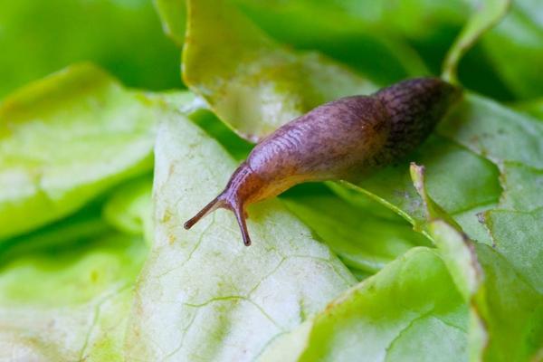 Comment se débarrasser des limacesdestructeurs de plantes