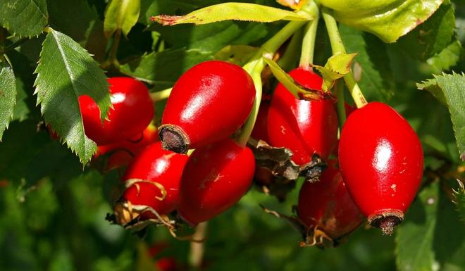 aliments contre la diarrhée fruit d'églantier