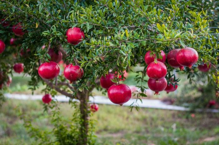 arbre grenadier bienfaits de la grenade