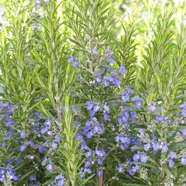 bienfaits du romarin plante fleurie