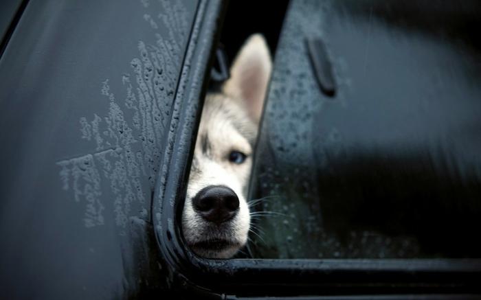 chien dans une voiture comment rafraîchir un chien pendant l'été