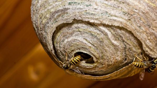 comment détecter un nid de guêpes