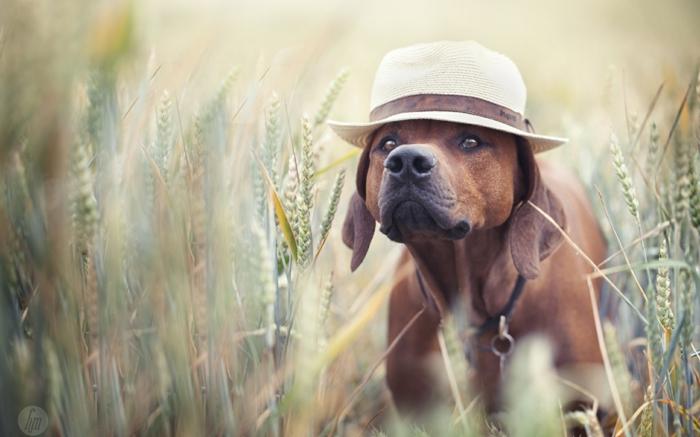 comment rafraîchir un chien idée chien avec un chapeau sur la tête