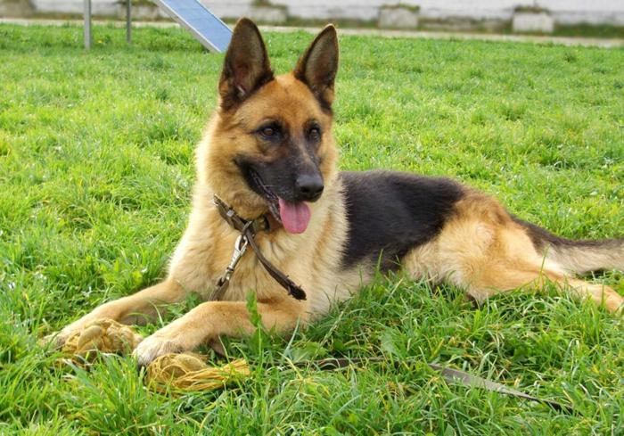 comment rafraîchir un chien se promener sur la pelouse