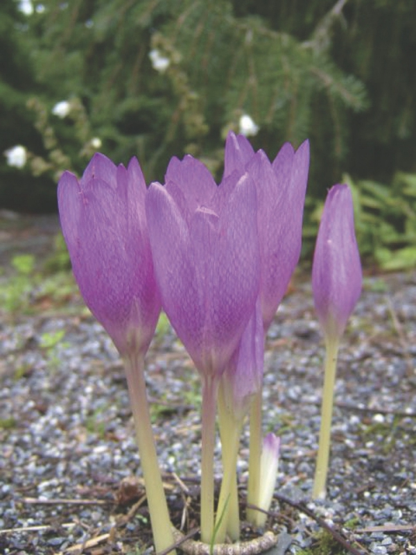 culture safran des crocus