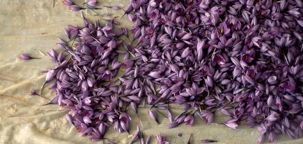 culture safran fleurs du safran
