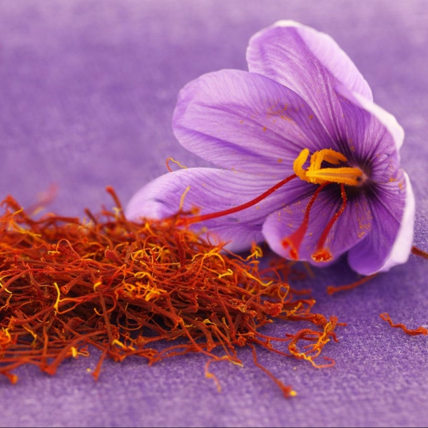 culture safran pétales et fleur