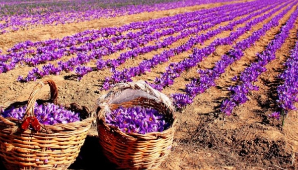 culture safran récolte de safran