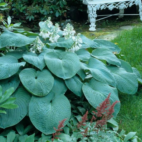hosta plante aux feuilles énormes