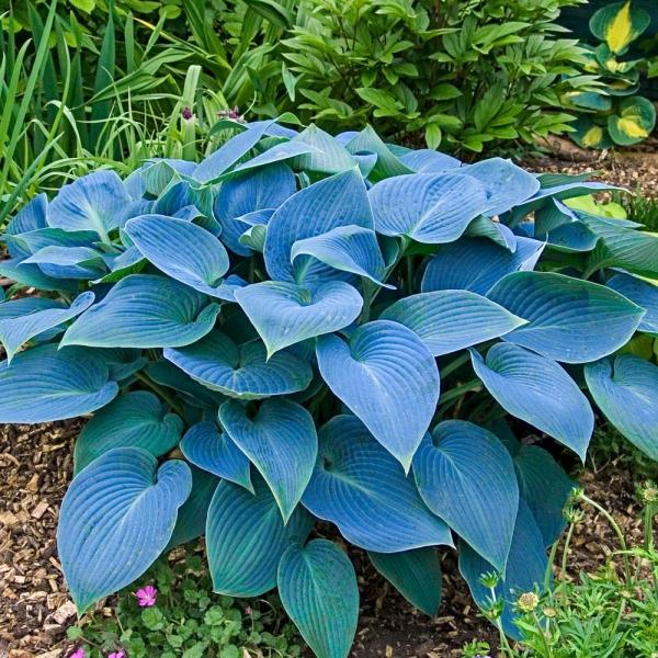hosta plante bleu-vert