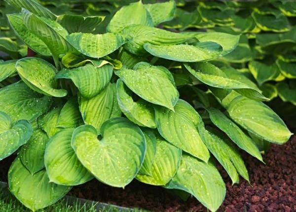 hosta plante centaines de cultivars