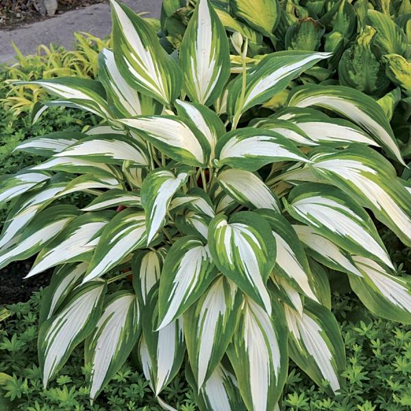 hosta plante deux nuances du vert