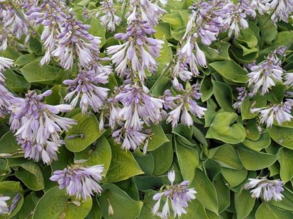 hosta plante en couleur bleue