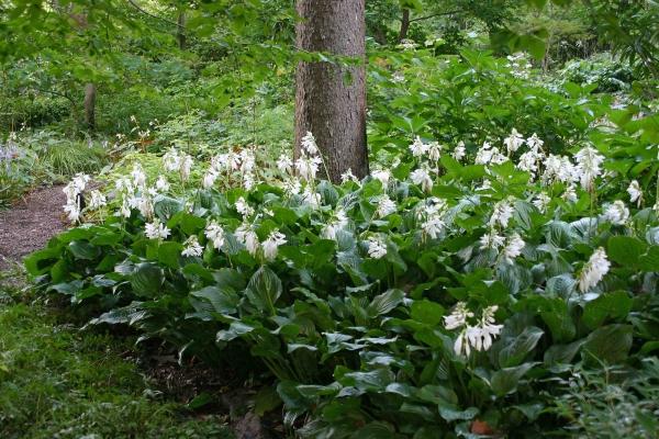 hosta plante hosta fleurie