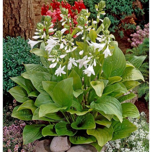 hosta plante jardin varié