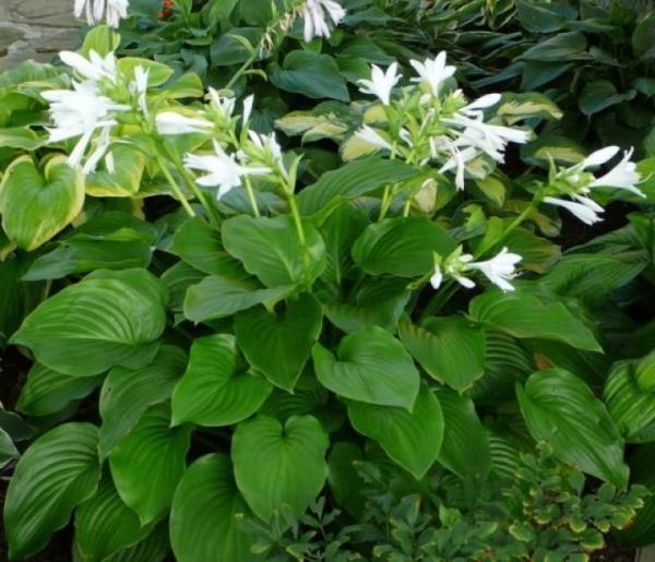 hosta plante planter dans le jardin