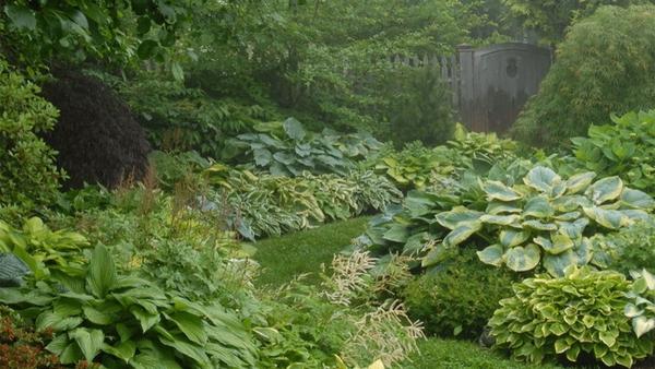 hosta plante plusieurs variétés