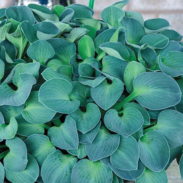 hosta plante ronde et épaisse