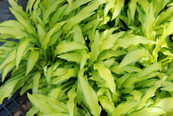 hosta plante seiboldia Kabitan