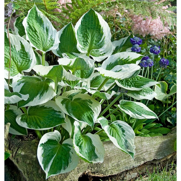 hosta plante tiges solides
