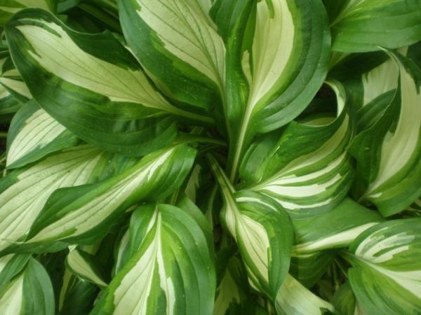 hosta plante vagues de feuilles
