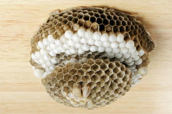 nid de guêpes avec des oeufs