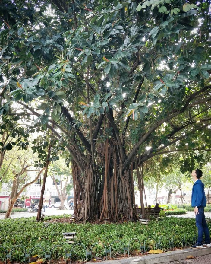 arbre ficus elastica