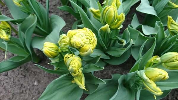 artichauts tulipe-artichaut