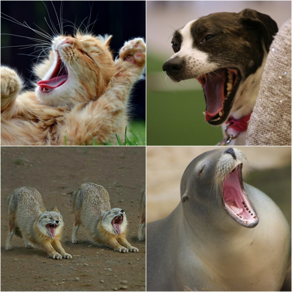 bâillement causes physiologiques animaux