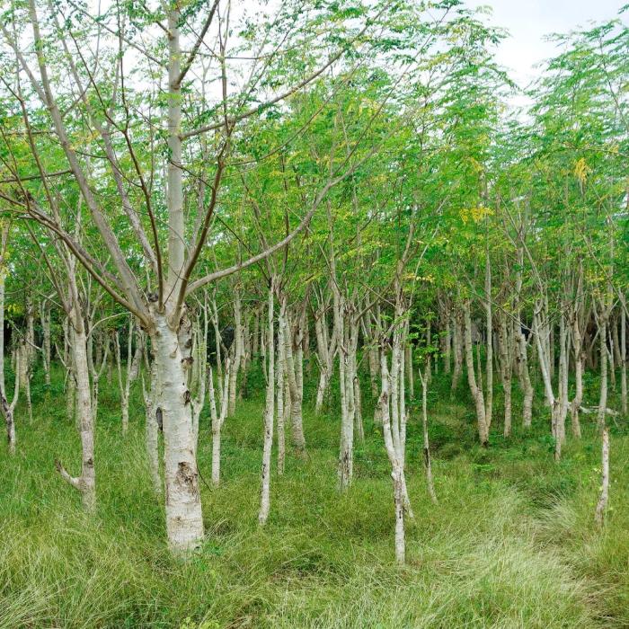 bienfaits du moringa une forêt de moringa