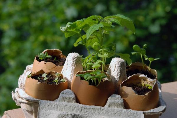 coquillage des oeufs pour le semis