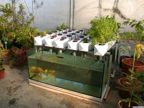 culture aquaponique avec aquarium