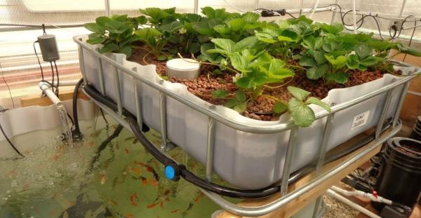 culture aquaponique fraises et poissons
