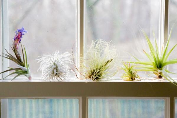 déco de fenêtre avec des plantes Tillandsia