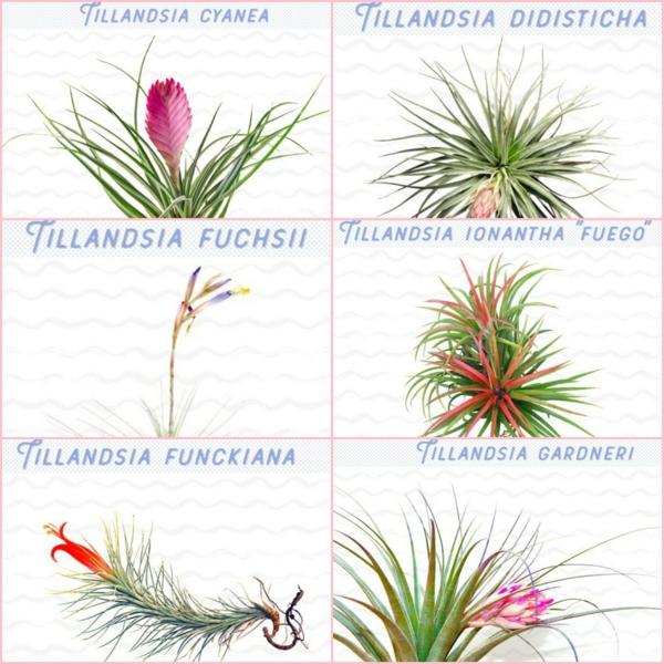 espèces de plantes Tillandsia à cultiver à la maison