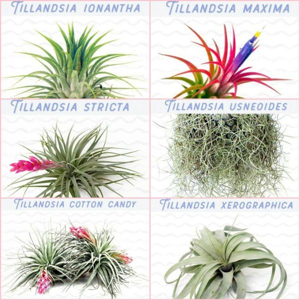 espèces de plantes Tillandsia à cultiver chez soi