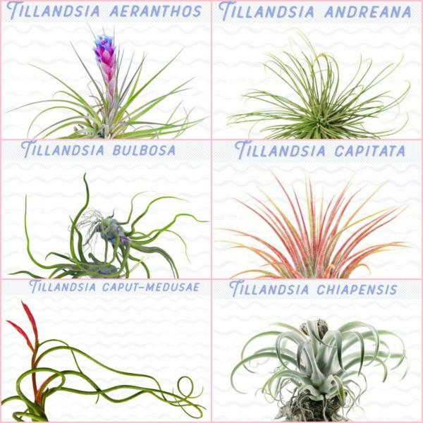 espèces de plantes Tillandsia à cultiver chez vous