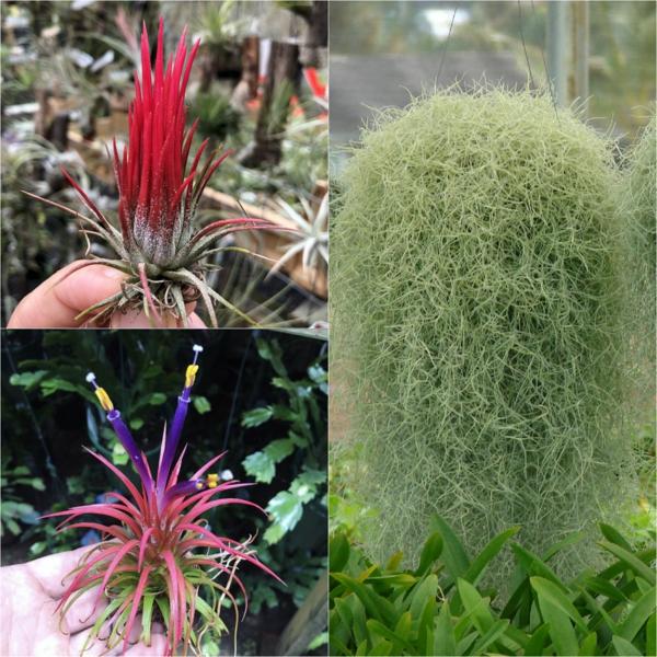 espèces de plantes Tillandsia