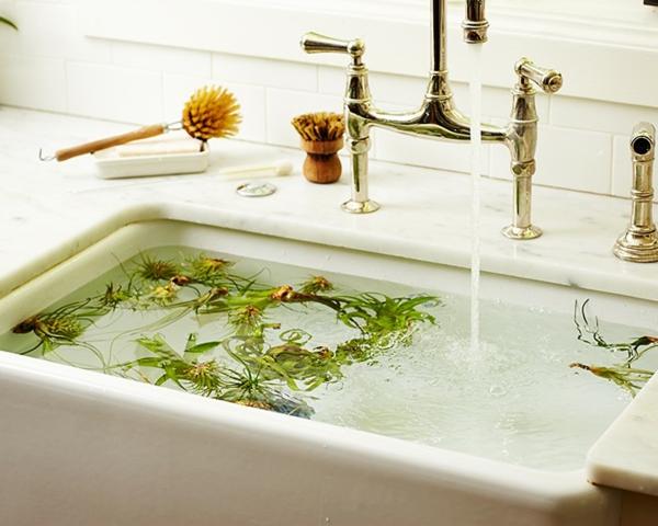 faire tremper les plantes Tillandsia dans l'eau
