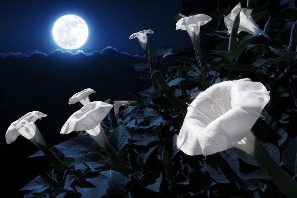 fleur de lune beauté céleste