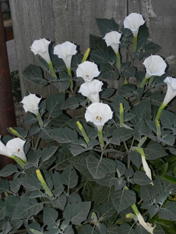 fleur de lune ouverture des pétales
