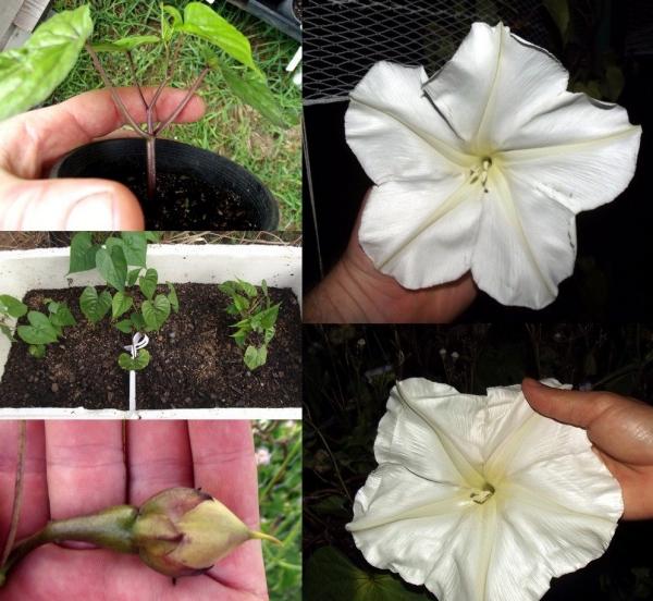 fleur de lune pot et jardinière