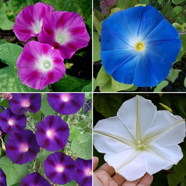fleur de lune quelques variétés