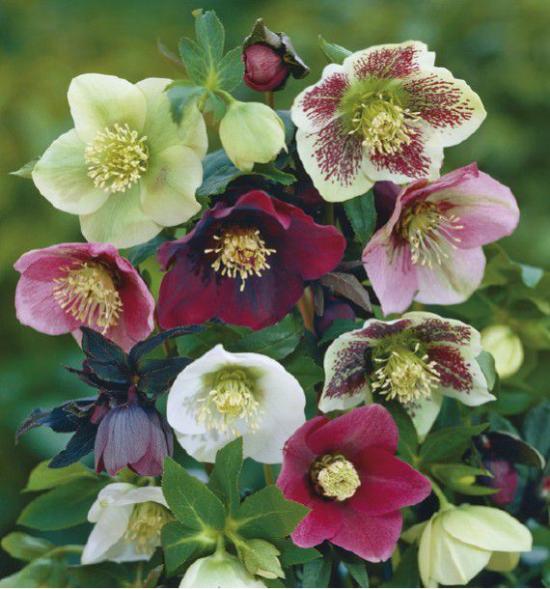 hellébore bouquet de fleurs