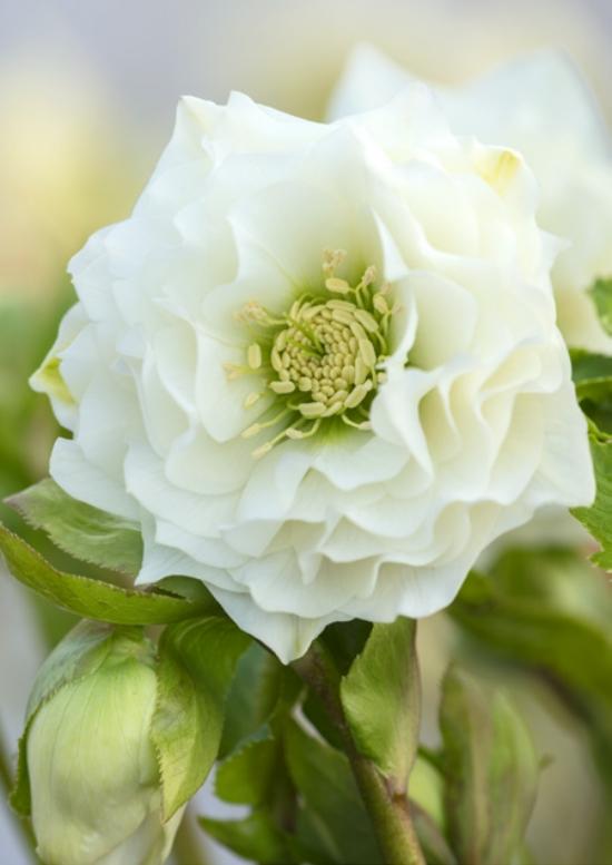 hellébore comme la rose
