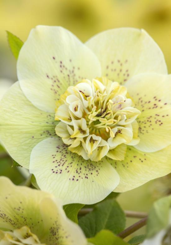 hellébore fleur blanche